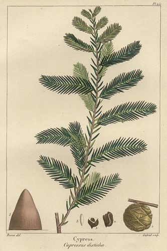 CYPRESS Engraving North American Sylva Michaux 1857 Piladelphia