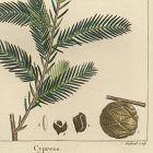 CYPRESS Engraving North American Sylva Michaux 1857 Piladelphia