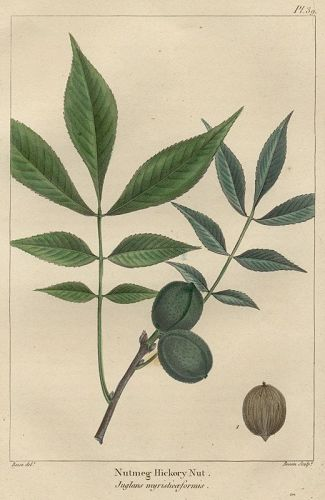 NUTMEG HICKORY NUT North American Sylva Michaux 1857 Philadelphia