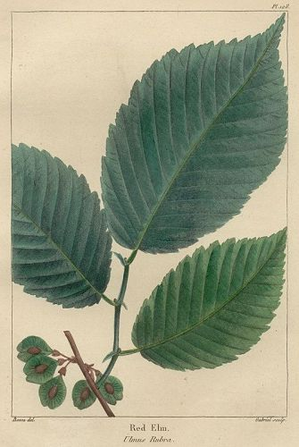 ELM RED North American Sylva Michaux 1857 Philadelphia