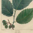 ELM RED North American Sylva Michaux 1857 Philadelphia
