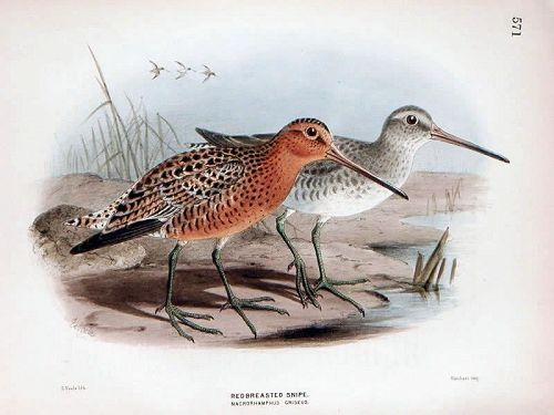 SNIPE RED BREASTED Henry Dresser Keulemans Birds Europe 1878 London