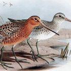 SNIPE RED BREASTED Henry Dresser Keulemans Birds Europe 1878 London