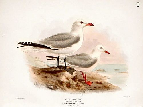GULL AUDOUIS SLENDER BILLED Henry Dresser Birds Europe 1878 London