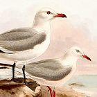GULL AUDOUIS SLENDER BILLED Henry Dresser Birds Europe 1878 London