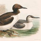 GUILLEMOT COMMON Henry Dresser Keulemans Birds Europe 1877 London