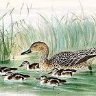 PINTAIL FEMALE YOUNG Henry Dresser Keulemans Birds Europe 1873 London