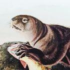 OTTER SEA John Audubon Quadruped Royal Octavo Antique New York