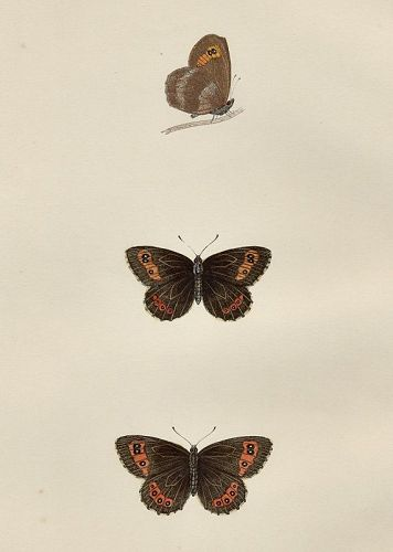 ARGUS SCOTCH Morris History British Butterflies London 1876