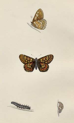 FRITILLARY GREASY Morris History British Butterflies London 1876