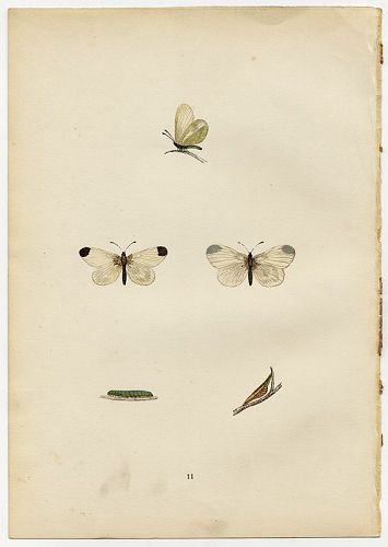 WOOD WHITE Morris History British Butterflies London 1876