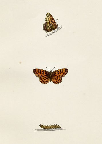 FRITILLARY WEAVERS Morris History British Butterflies London 1876