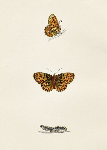 FRITILLARY PEARL BORDERED Morris History British Butterflies 1876