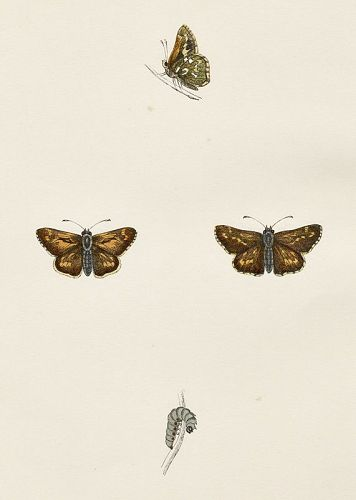 SKIPPER SILVER SPOTTED Morris History British Butterflies London 1876