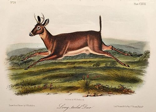 DEER LONG TAILED John Audubon Quadruped Royal Octavo Antique New York
