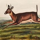 DEER LONG TAILED John Audubon Quadruped Royal Octavo Antique New York