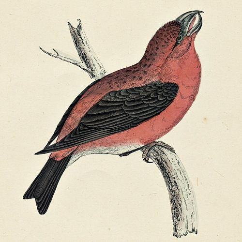 PARROT CROSSBILL Engraving Morris History British Birds Antique Print