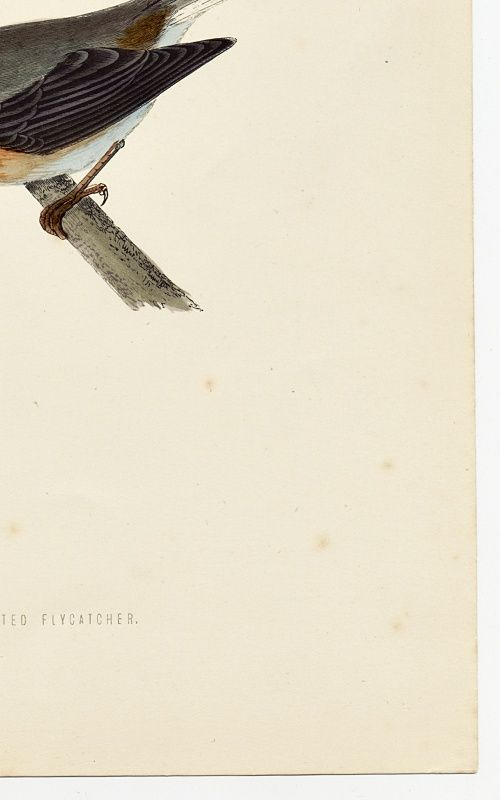 FLYCATCHER RED BREASTED Engraving Morris History British Birds