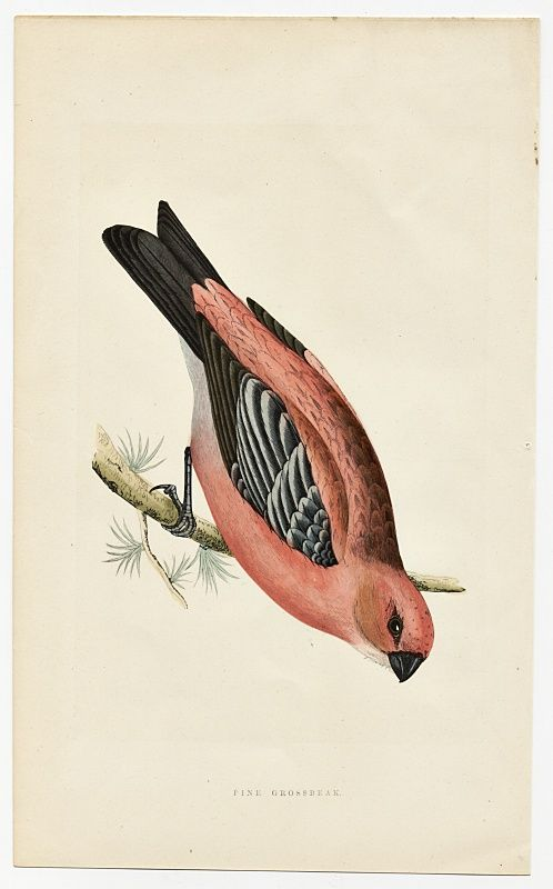 GROSSBEAK PINE Engraving Morris History British Birds Antique Print