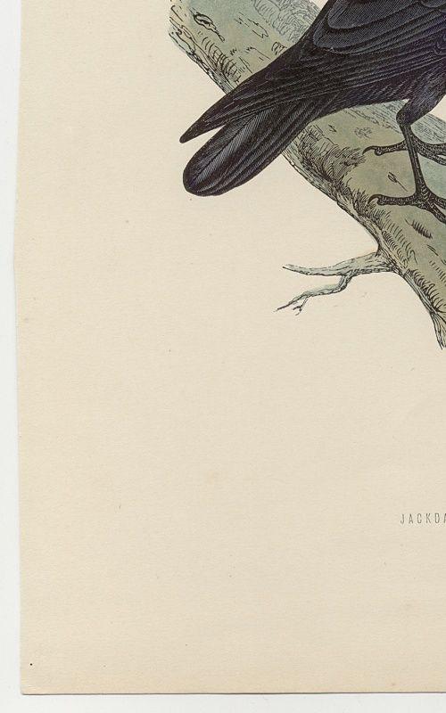 JACKDAW Engraving Morris History British Birds Antique Print