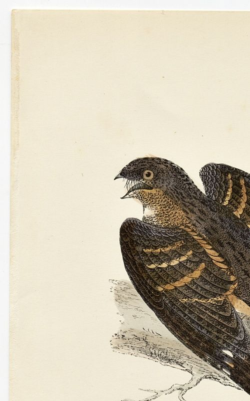 NIGHTJAR Engraving Morris History British Birds Antique Print