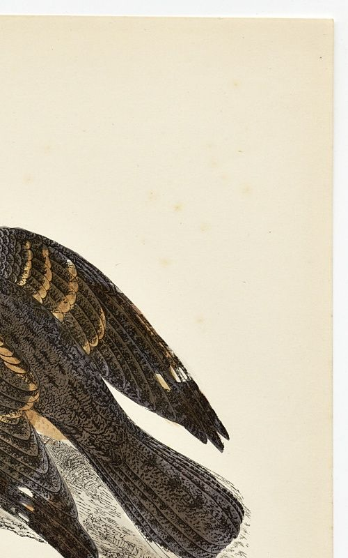 NIGHTJAR Engraving Morris History British Birds Antique Print