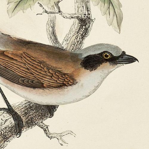 SHRIKE RED BACKED Engraving Morris History British Birds Antique Print
