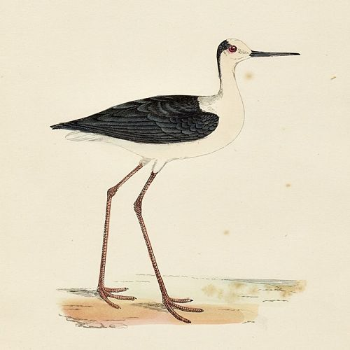 STILT Engraving Morris History British Birds Antique Print