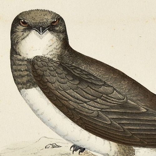 SWIFT ALPINE Engraving Morris History British Birds Antique Print