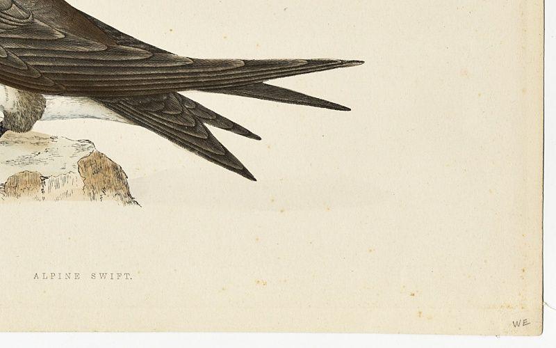 SWIFT ALPINE Engraving Morris History British Birds Antique Print