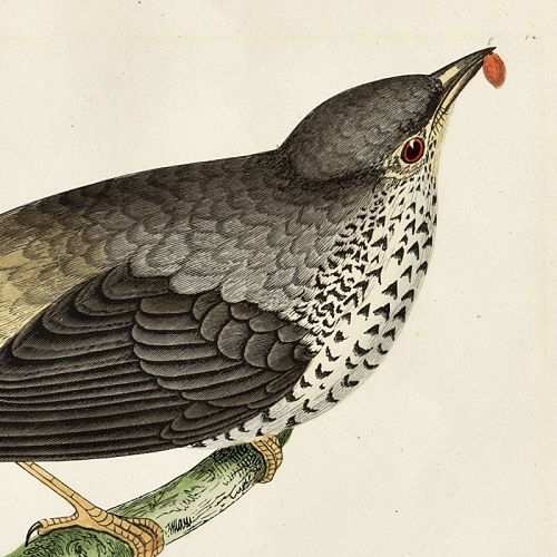 THRUSH MISSEL Engraving Morris History British Birds Antique Print