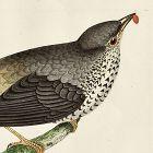 THRUSH MISSEL Engraving Morris History British Birds Antique Print