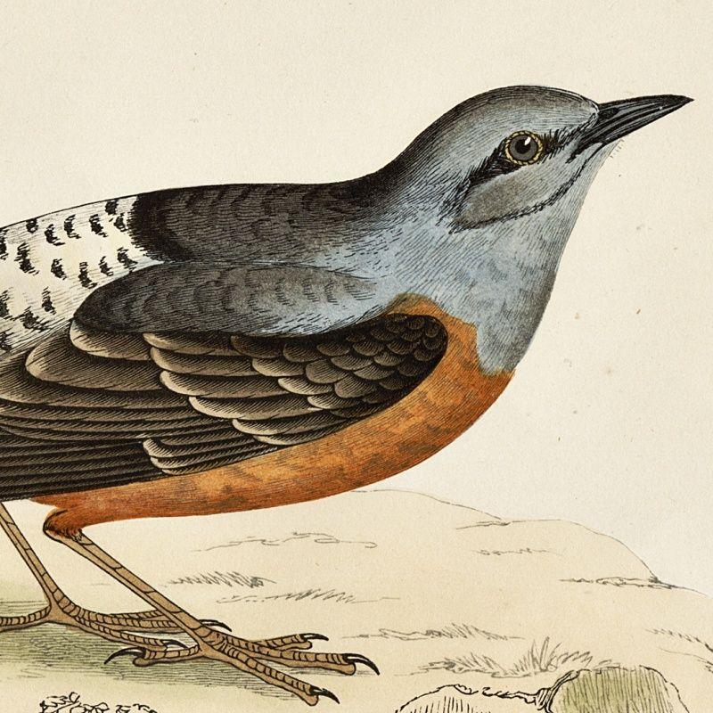 THRUSH ROCK Engraving Morris History British Birds Antique Print