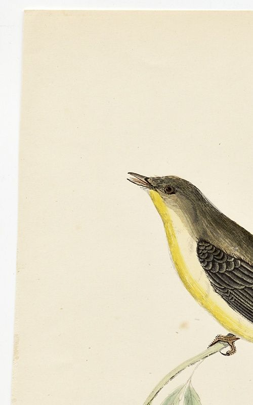 WARBLER MELODIOUS WILLOW Engraving Morris History British Birds