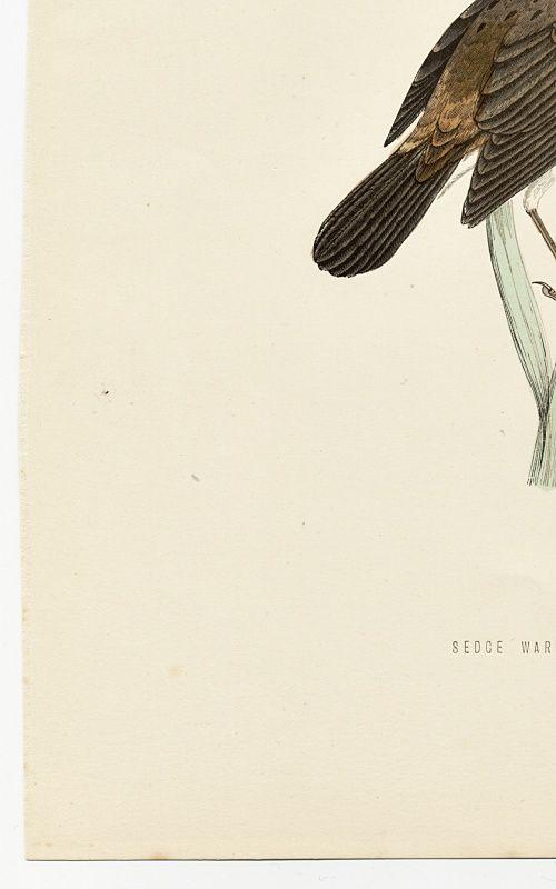 WARBLER SEDGE Engraving Morris History British Birds Antique Print