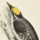 WOODPECKER THREE TOED Engraving Morris History British Birds