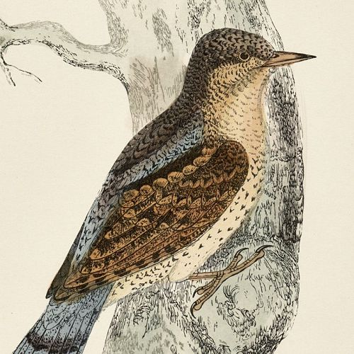 WRYNECK Engraving Morris History British Birds Antique Print