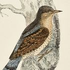 WRYNECK Engraving Morris History British Birds Antique Print