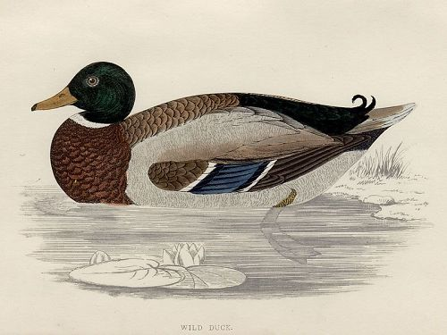 DUCK WILD Engraving Morris History British Birds London Antique