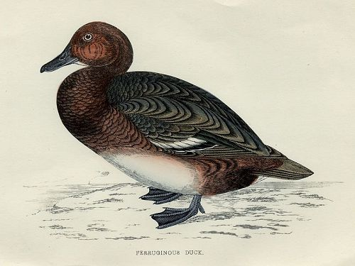 DUCK FERRUGINOUS Engraving Morris History British Birds London Antique