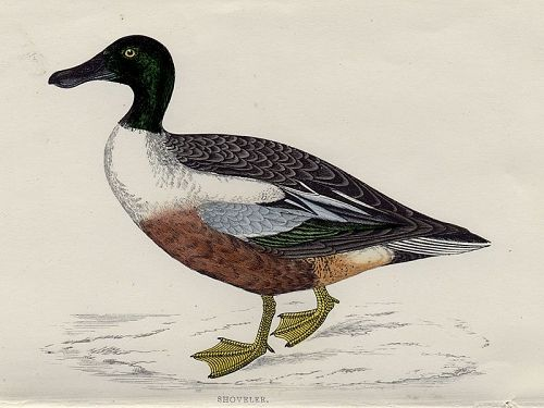 SHOVELER Engraving Morris History British Birds London Antique