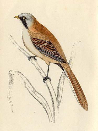 BEARDED TIT Engraving Morris History British Birds London Antique