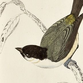 MARSH TIT Engraving Morris History British Birds London Antique