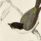 MARSH TIT Engraving Morris History British Birds London Antique