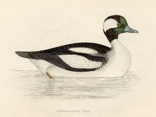 DUCK BUFFEL HEADED Engraving Morris History British Birds London