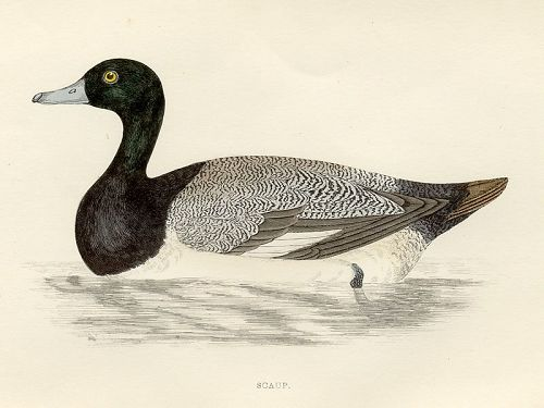 SCAUP Engraving Morris History British Birds London Antique Print