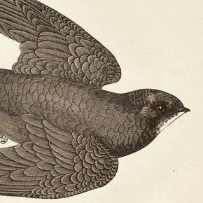 SWIFT Engraving Morris History British Birds London Antique Print