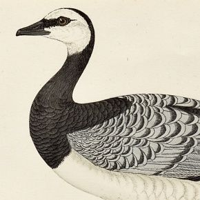 GOOSE BERNICLE Engraving Morris History British Birds London Antique