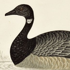GOOSE BRENT Engraving Morris History British Birds London Antique