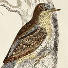 WRYNECK Engraving Morris History British Birds London Antique
